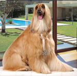175AfghanHound_cropped